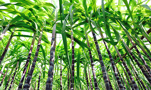 bamboo in a row bug's eye view