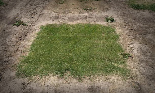 freeze-tolerance-turf-patch-rect.jpg