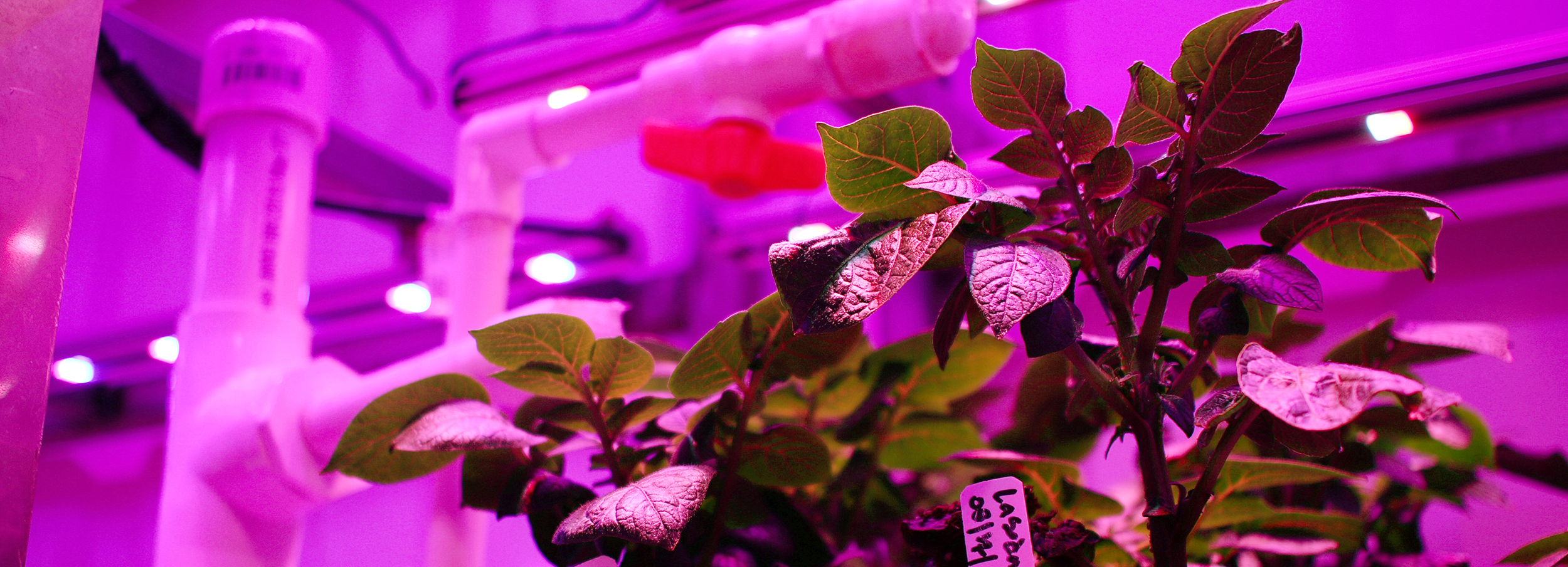 virology-potato-plants-in-growtainer.jpg