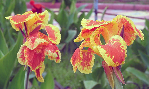 orange and yellow spotted canna lilies close up
