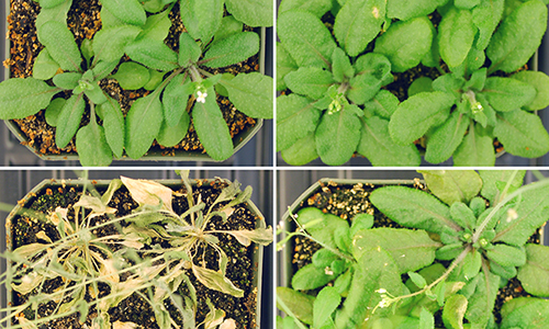 Thale cress research specimens close-up side by side show drought and salt effects